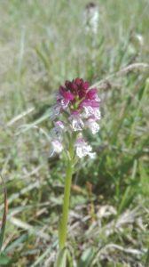 Burnt orchid Orchis ustulata Estonia Saaremaa