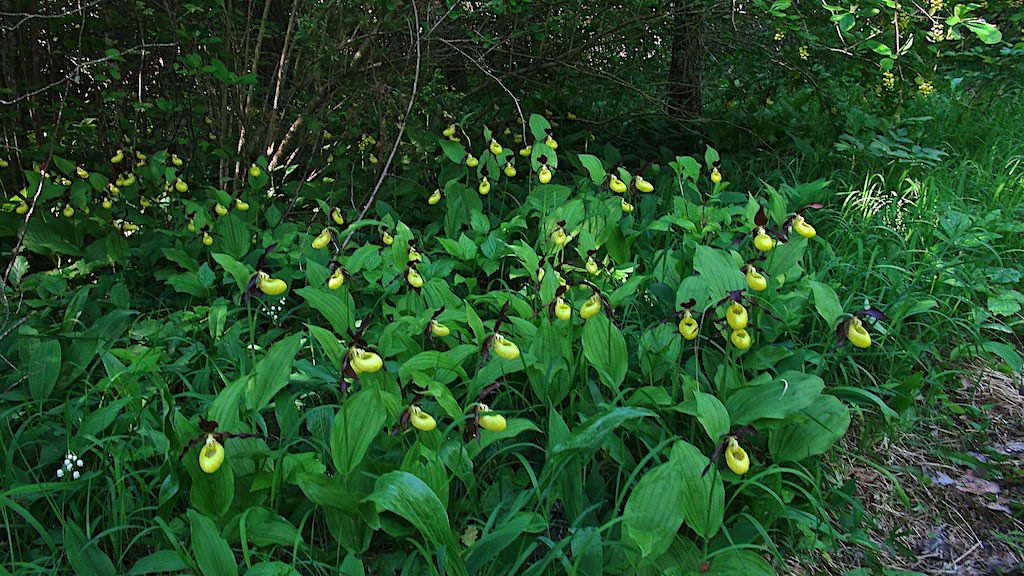 Cypripedium calceolus - Lady's Slipper orchids Estonia Saaremaa