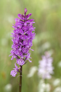 Dactylorhiza maculata Heath Spotted-orchid rainar kurbel