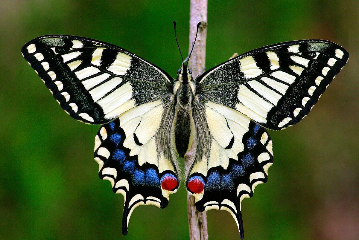 pääsusaba - Papilio machaon - the Old World swallowtail wikipeedia